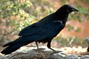 raven_fws